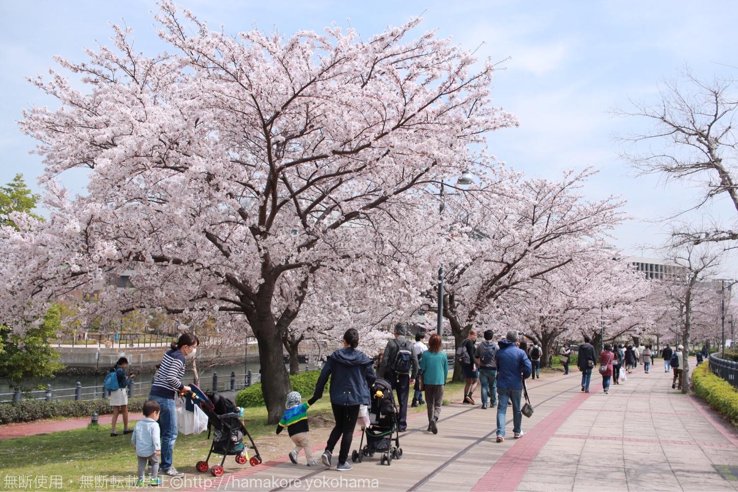 横浜ワールドポーターズへと続く桜並木道