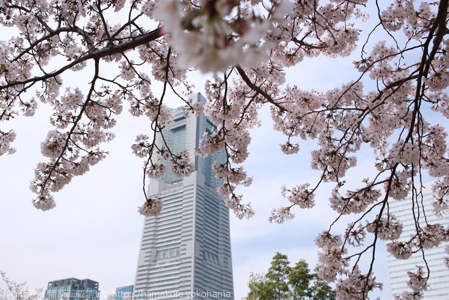 横浜ランドマークタワーと桜