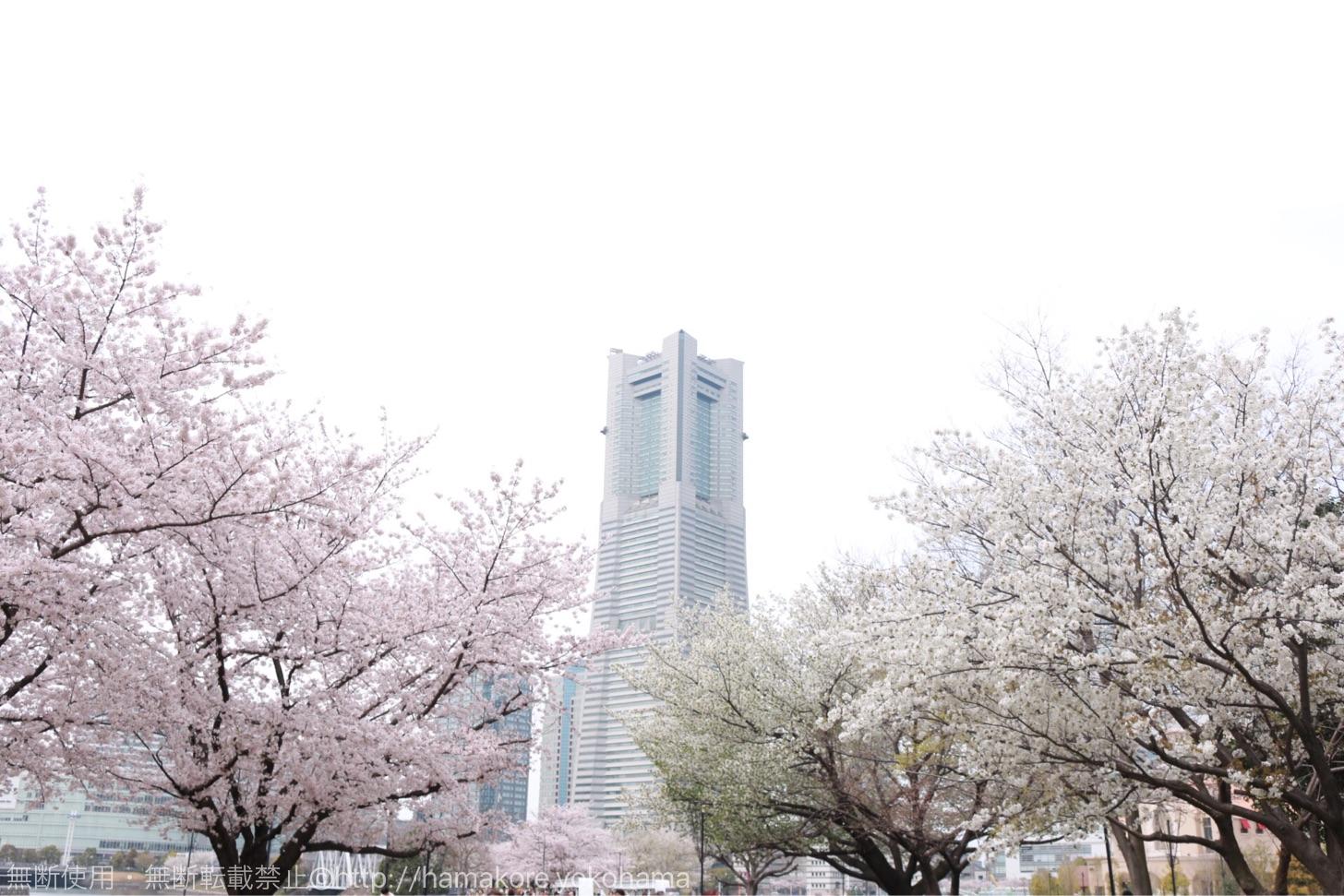 横浜ワールドポーターズの前の広場でお花見