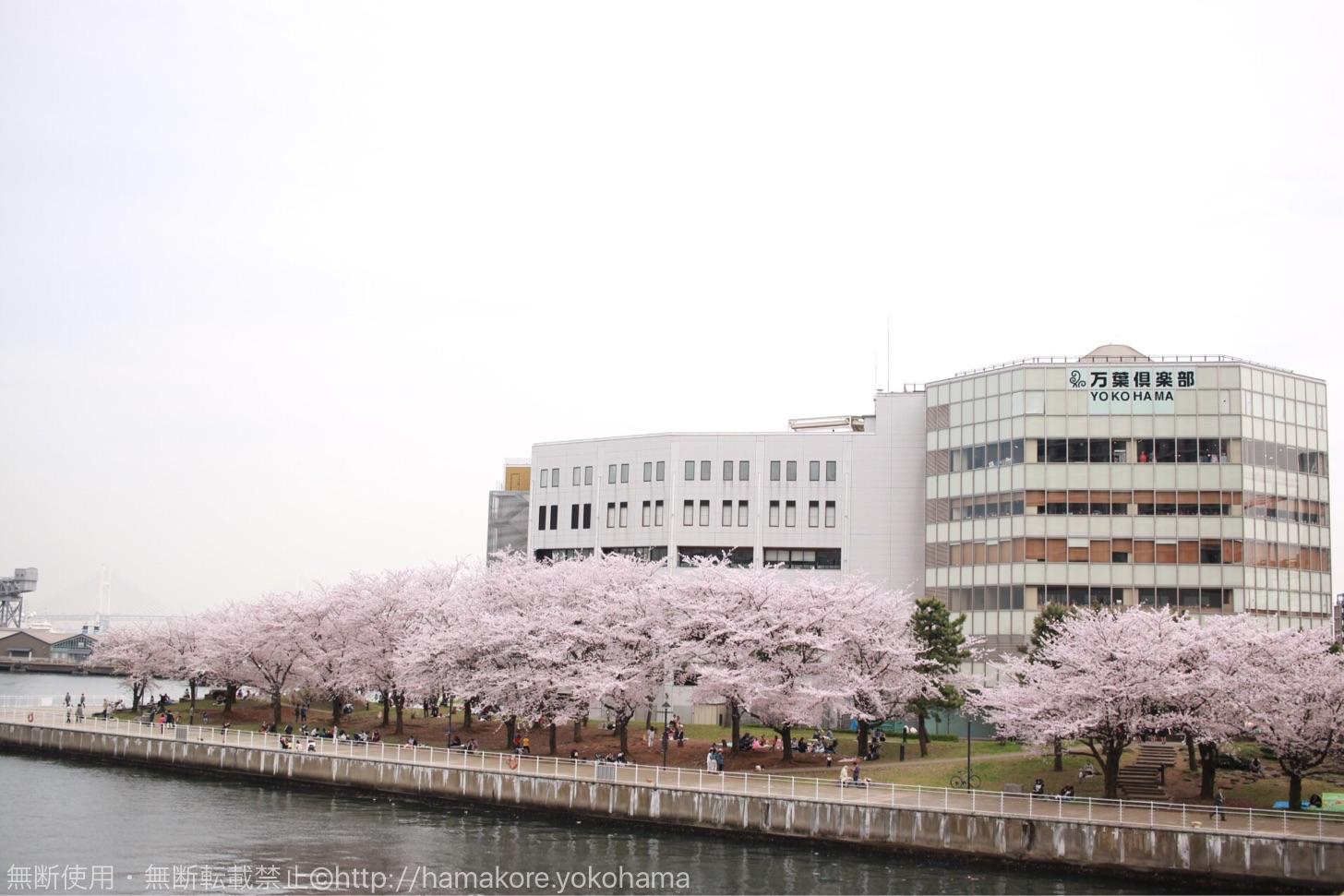 万葉湯倶楽部の前の桜