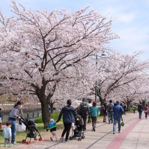 横浜の桜が満開!桜木町駅から徒歩圏内のお花見スポットまとめ
