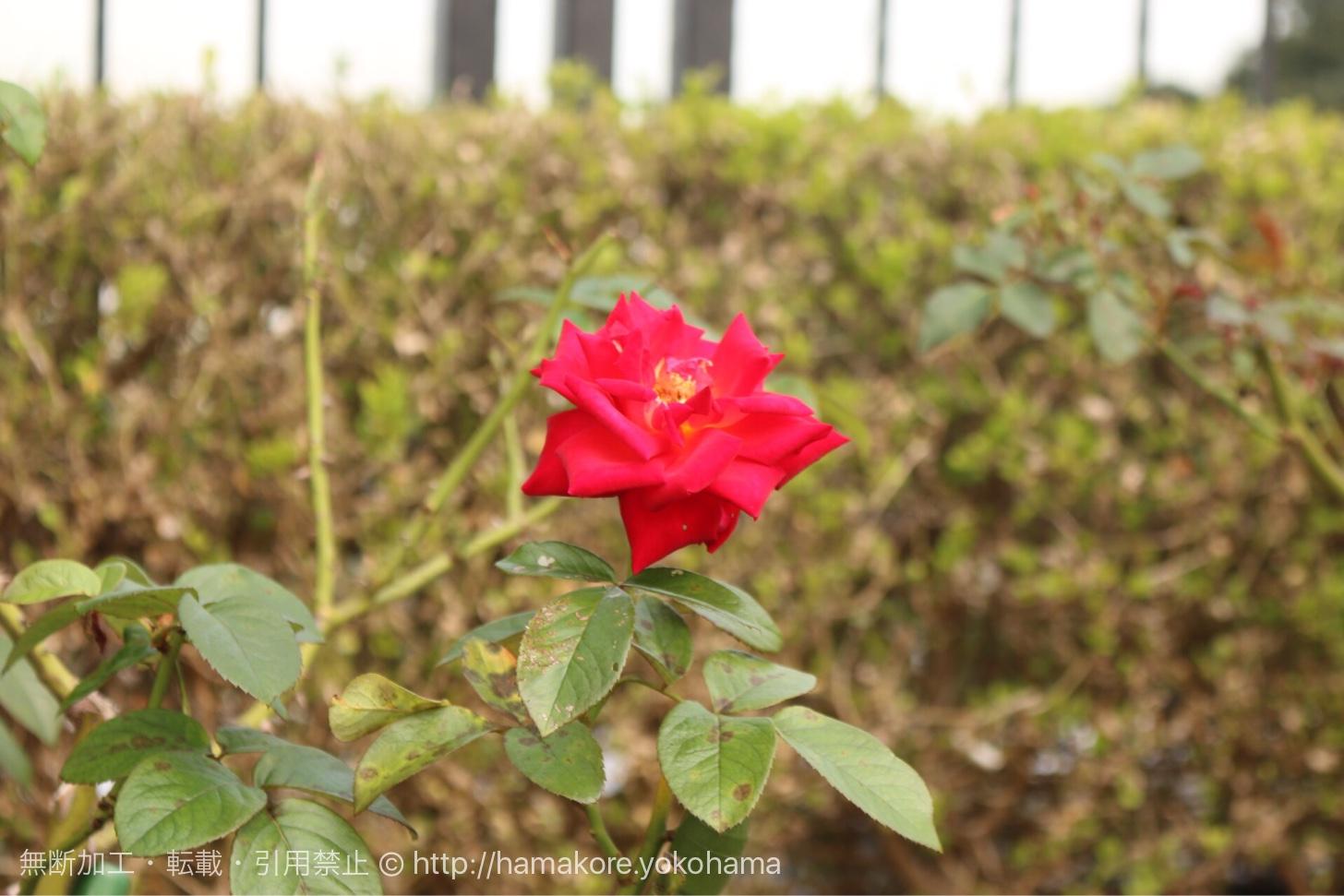 アメリカ山公園に咲いたバラ