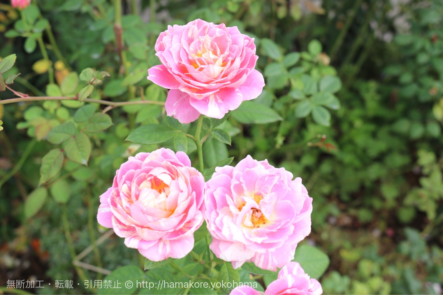 港の見える丘公園 ローズガーデンに咲くバラ