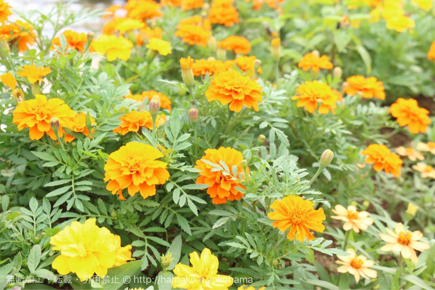 港の見える丘公園 噴水そばに咲いた花