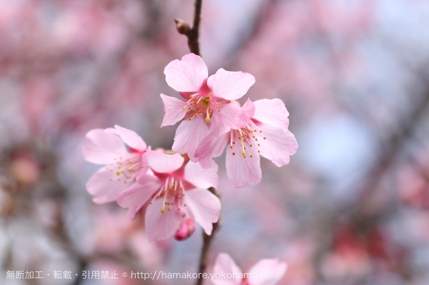 三渓園 2017年の「観梅会」は2月11日から開催!今年の見頃は!?