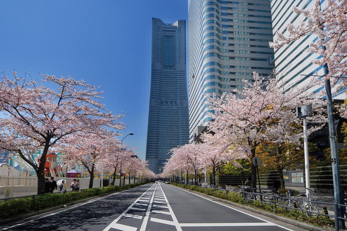 横浜 さくら通りで「みなとみらい21さくらフェスタ2017」が3月25日より開催!