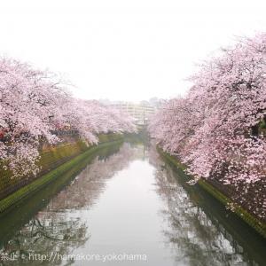 大岡川桜まつりが2017年4月1日・2日開催!神奈川県内1位のお花見スポット