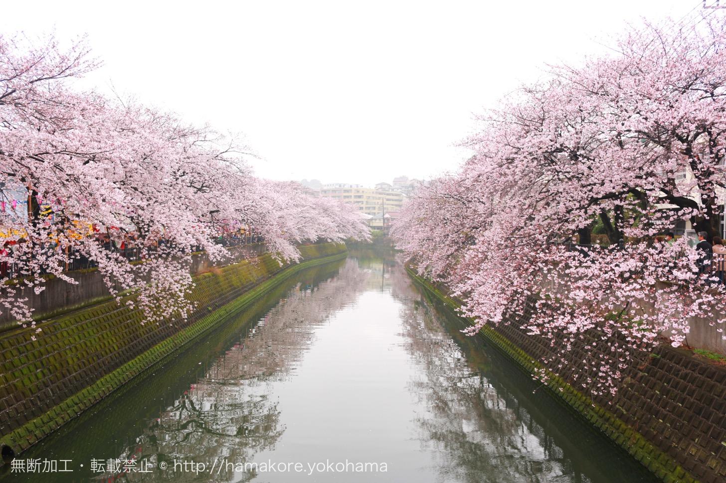 大岡川桜まつりが2017年4月1日・2日開催!
