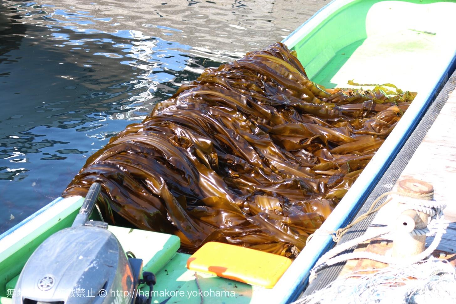 八景島沖合のコンブの収穫