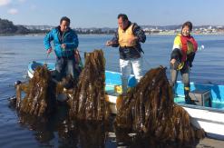 コンブの地産地消に取り組む八景島・金沢漁港、ブルーカーボン事業の一環でコンブを養殖