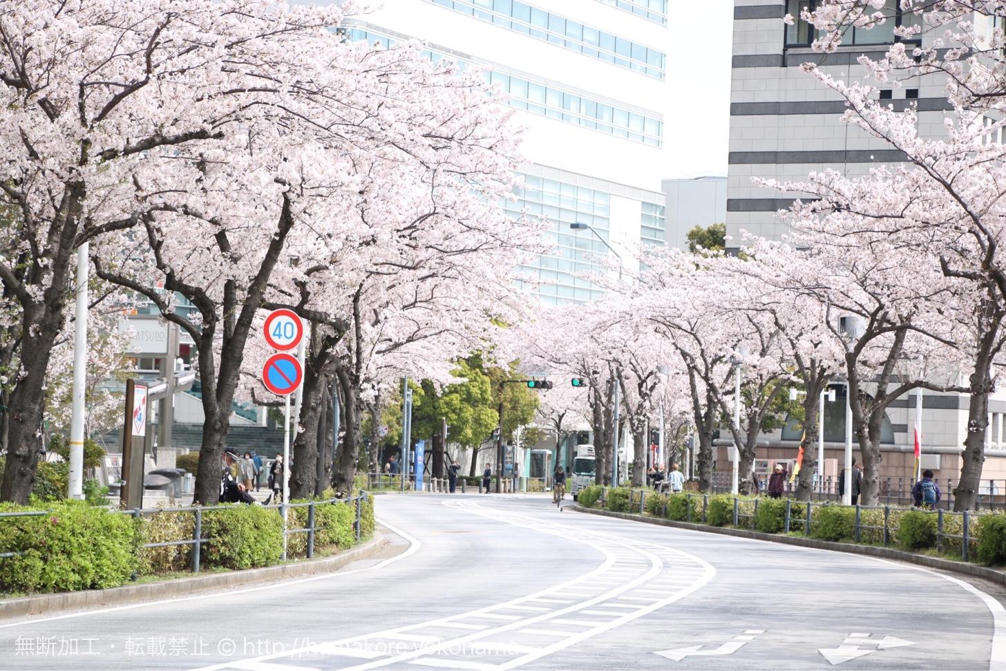 """さくら通りの桜"""""""""""