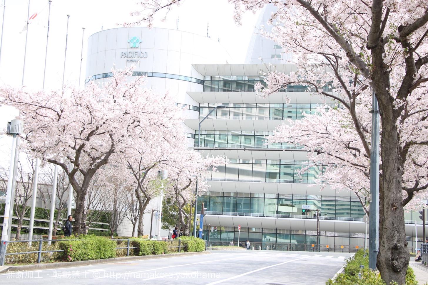 インターコンチネンタルホテルと桜