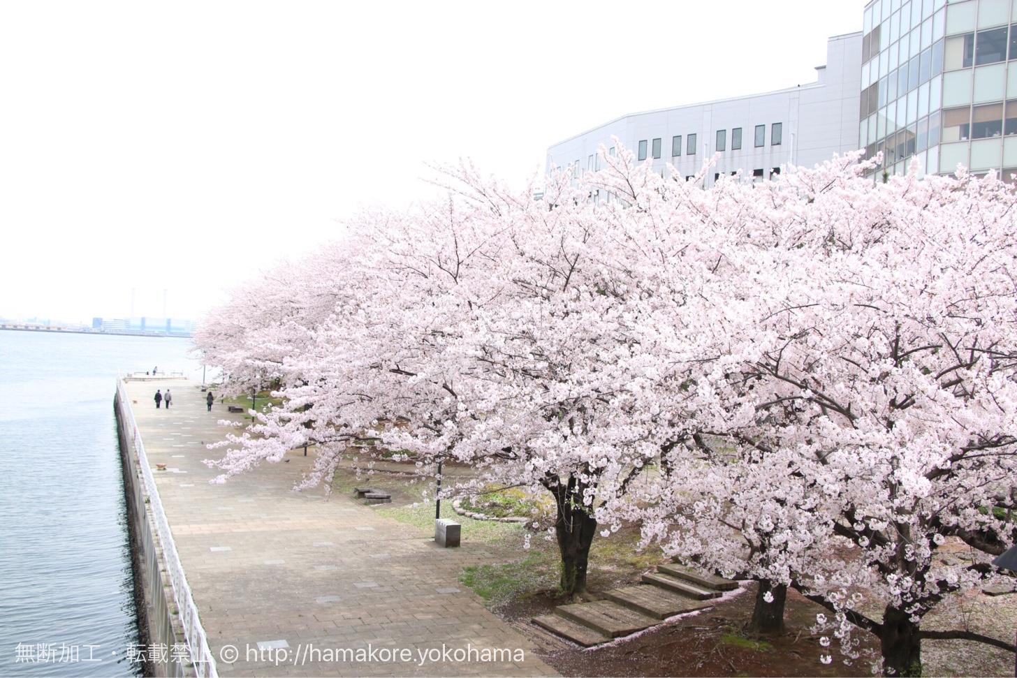 万葉倶楽部の前も桜