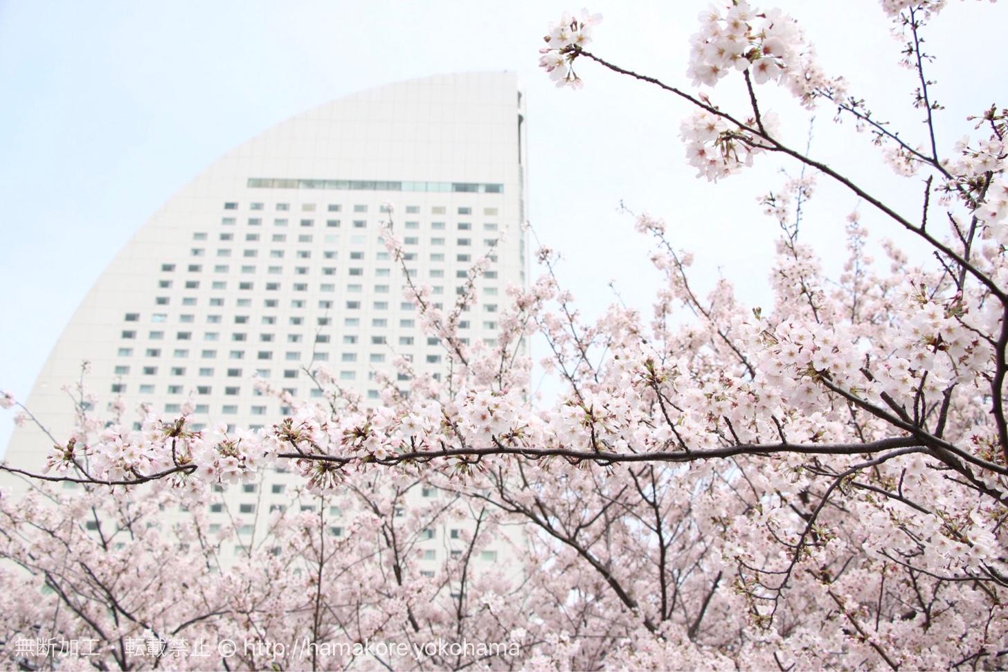 カップヌードルパークの桜