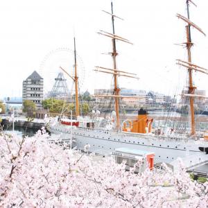 横浜みなとみらいの桜が満開!桜木町〜汽車道〜さくら通りは桜の写真撮影スポット多数