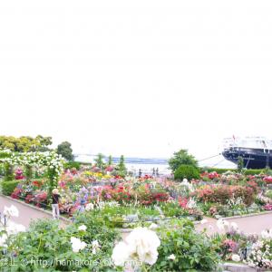 横浜・山下公園のバラが満開!鮮やかに彩られた山下公園は一見の価値あり!