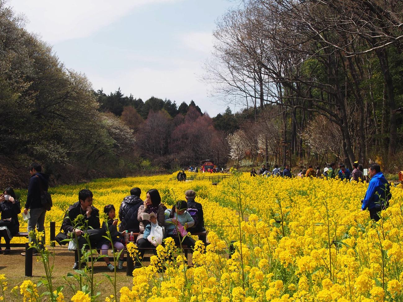 春の訪れを感じる谷戸の菜の花畑
