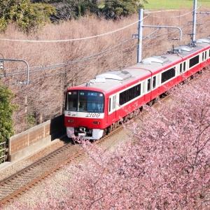 神奈川県 河津桜スポット「三浦海岸桜まつり」で一足先に春満喫!菜の花とコラボも