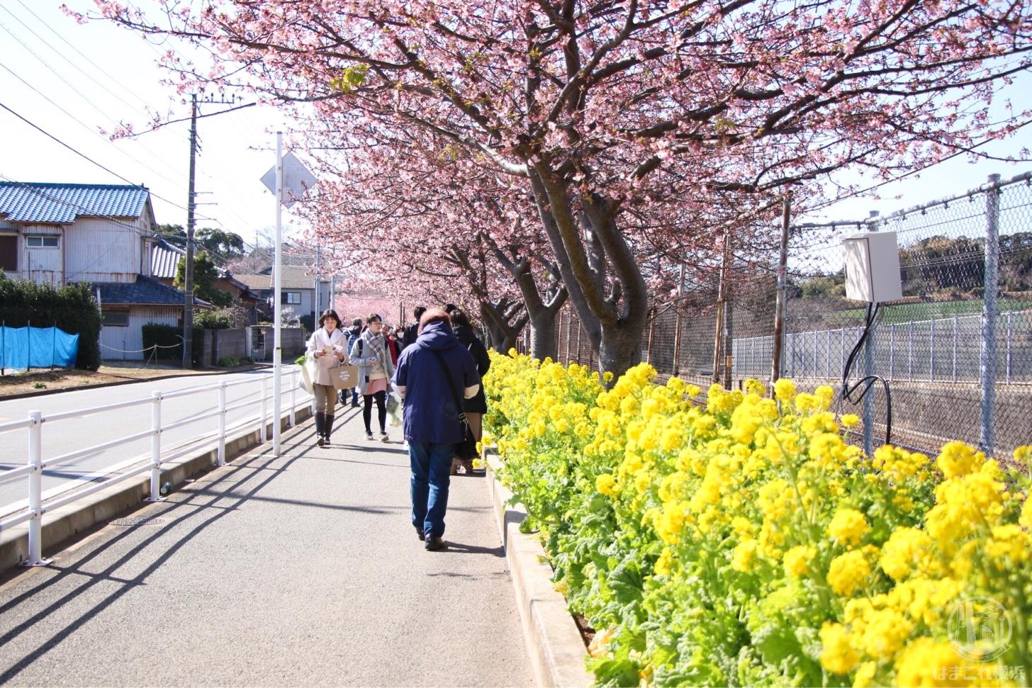 三浦海岸桜まつり 河津桜と菜の花
