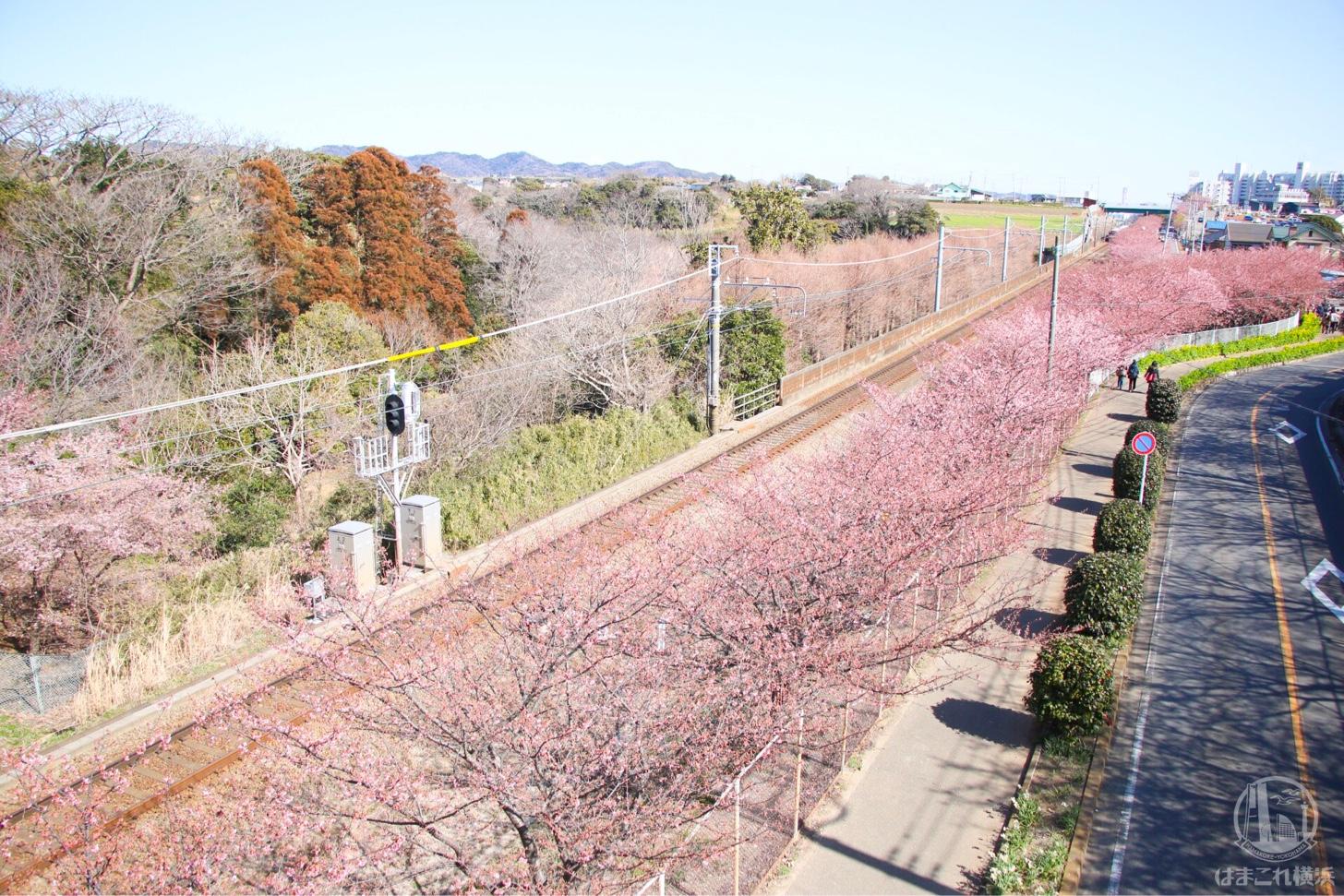 三浦海岸桜まつり 京急線沿線の桜並木