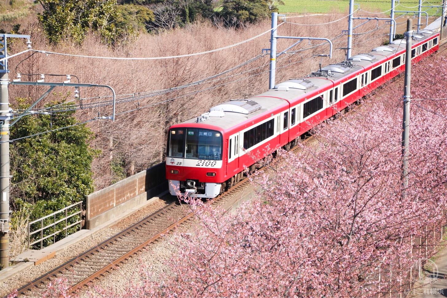 京急線と河津桜