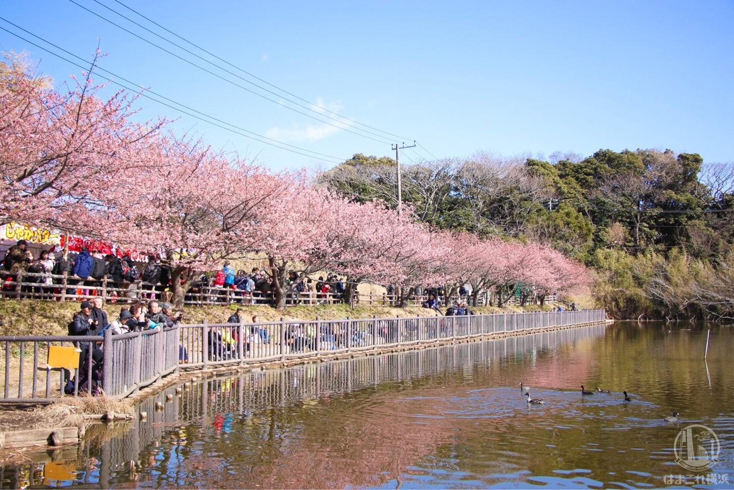 小松ヶ池公園の河津桜
