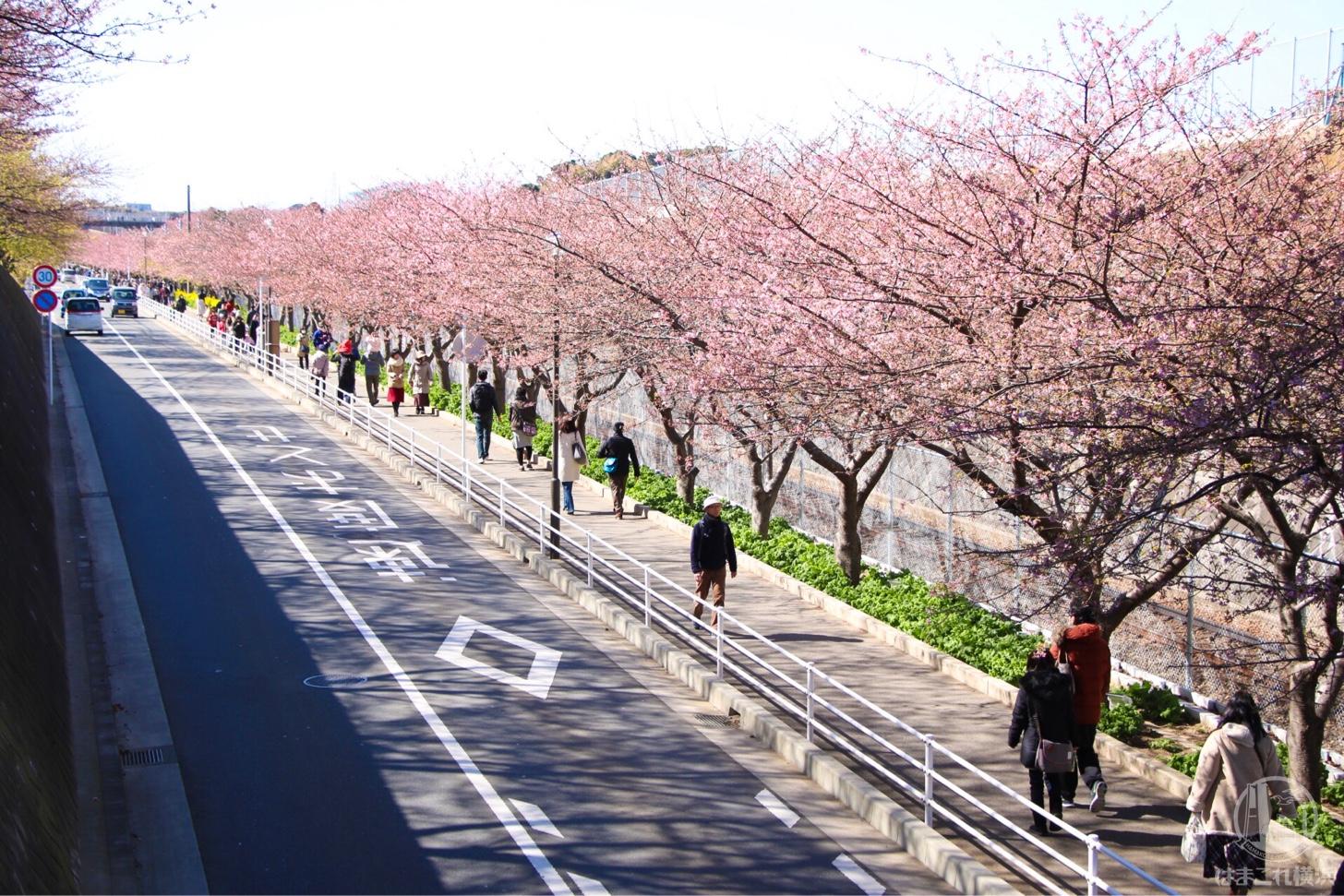 三浦海岸駅からメイン会場までの道中 河津桜