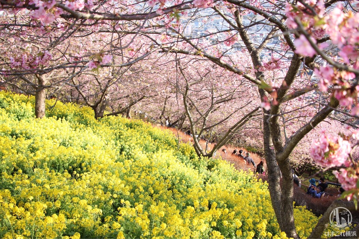 神奈川県 河津桜スポット「まつだ桜まつり」は上も下も河津桜!満開菜の花と富士山も