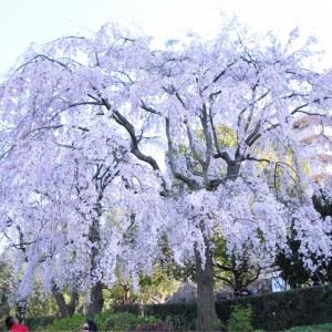 横浜 山下公園のしだれ桜が見頃!横浜の人気桜スポット