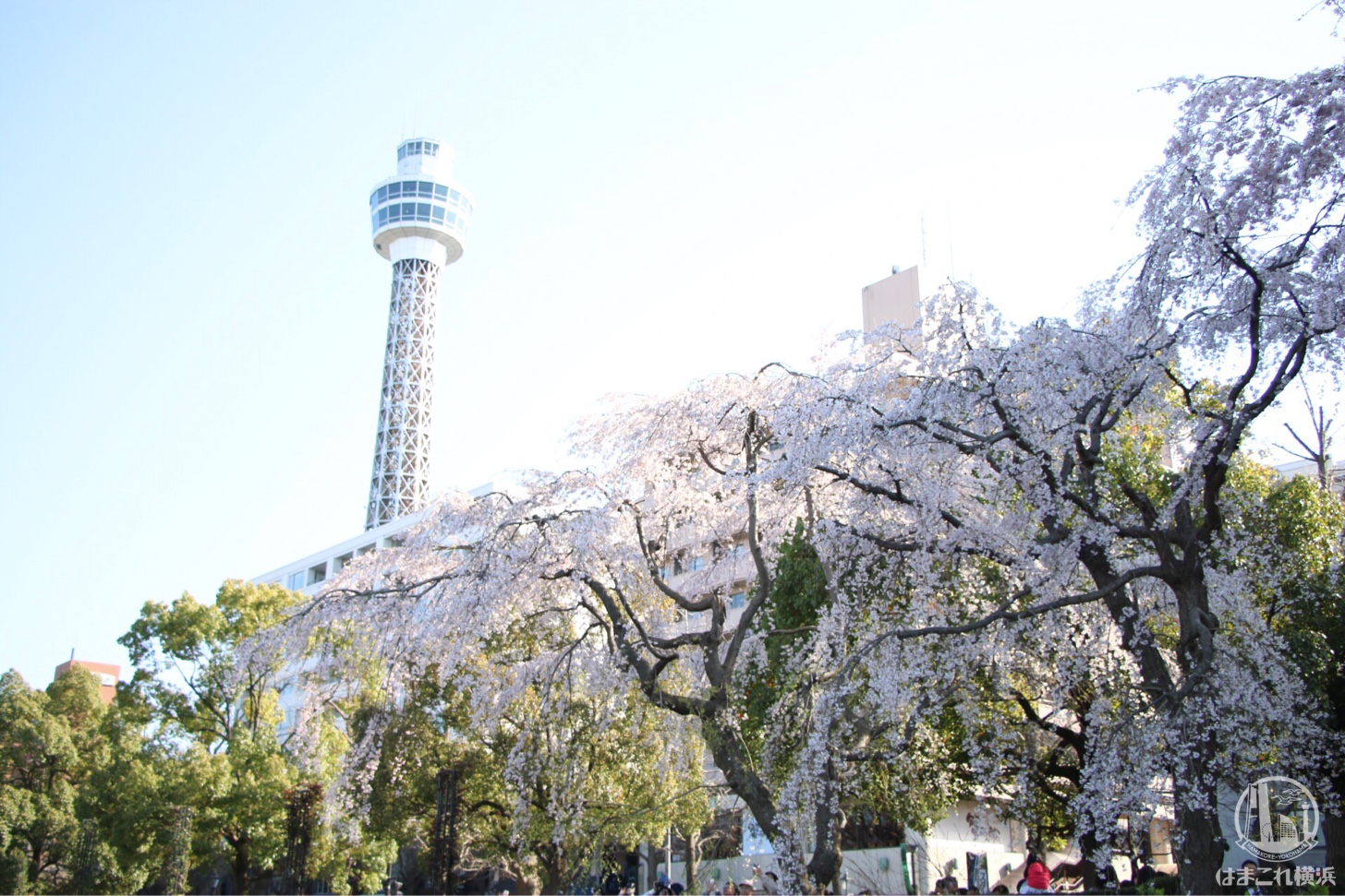 山下公園 満開のしだれ桜
