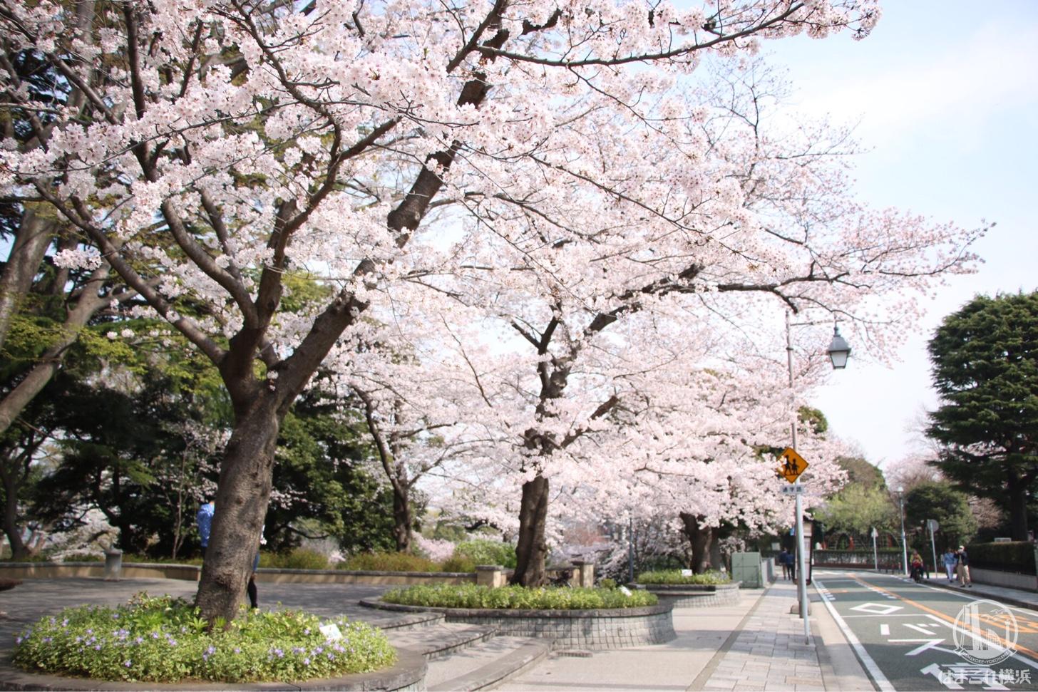 元町公園 満開の桜