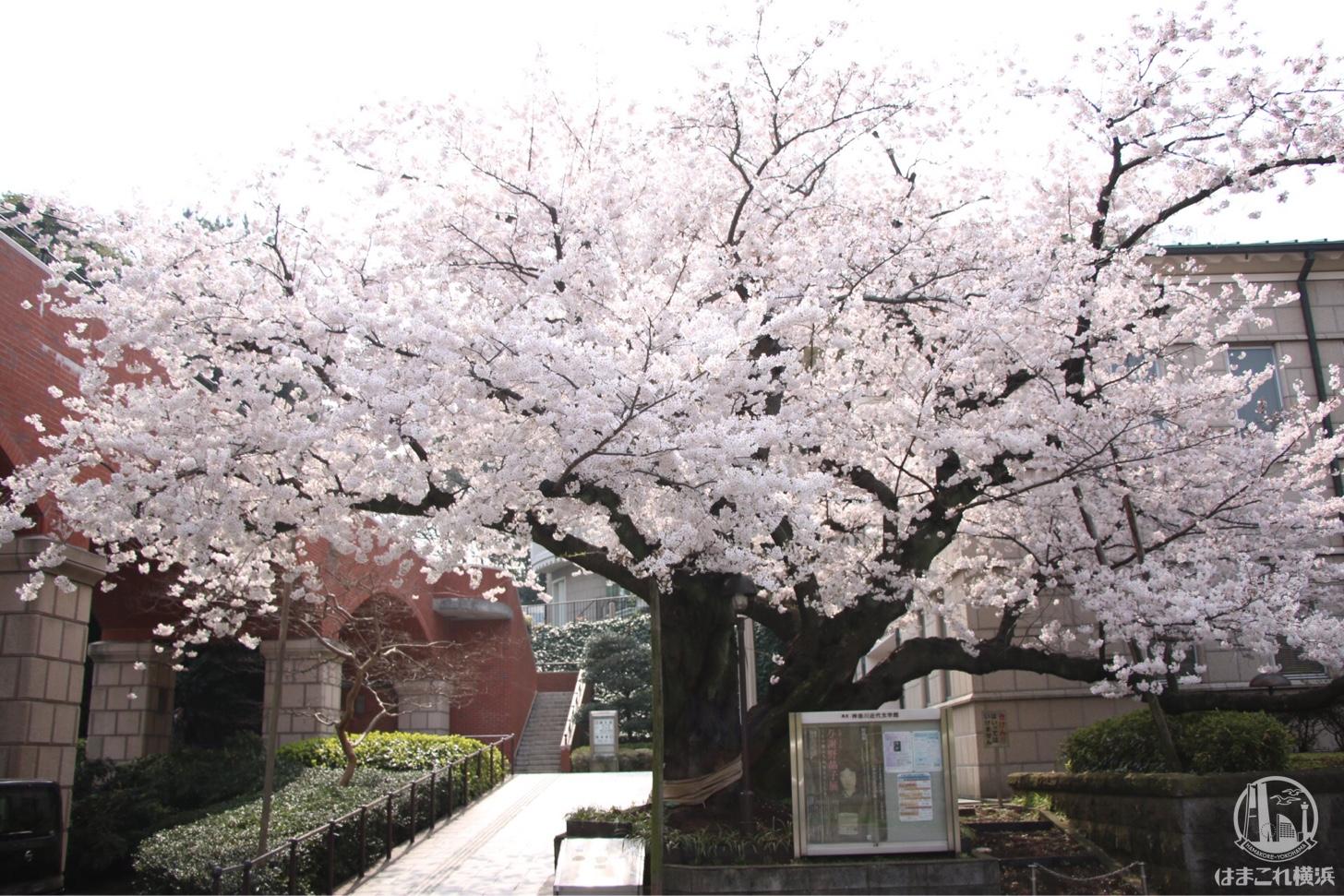 港の見える丘公園 桜