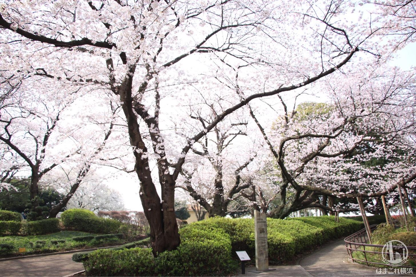 山手公園 満開の桜