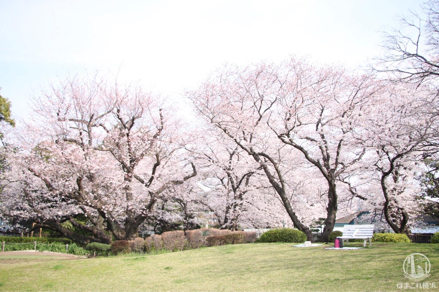 山手公園 芝生から見た桜