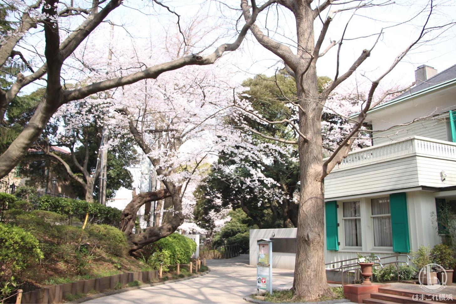 西洋館と桜