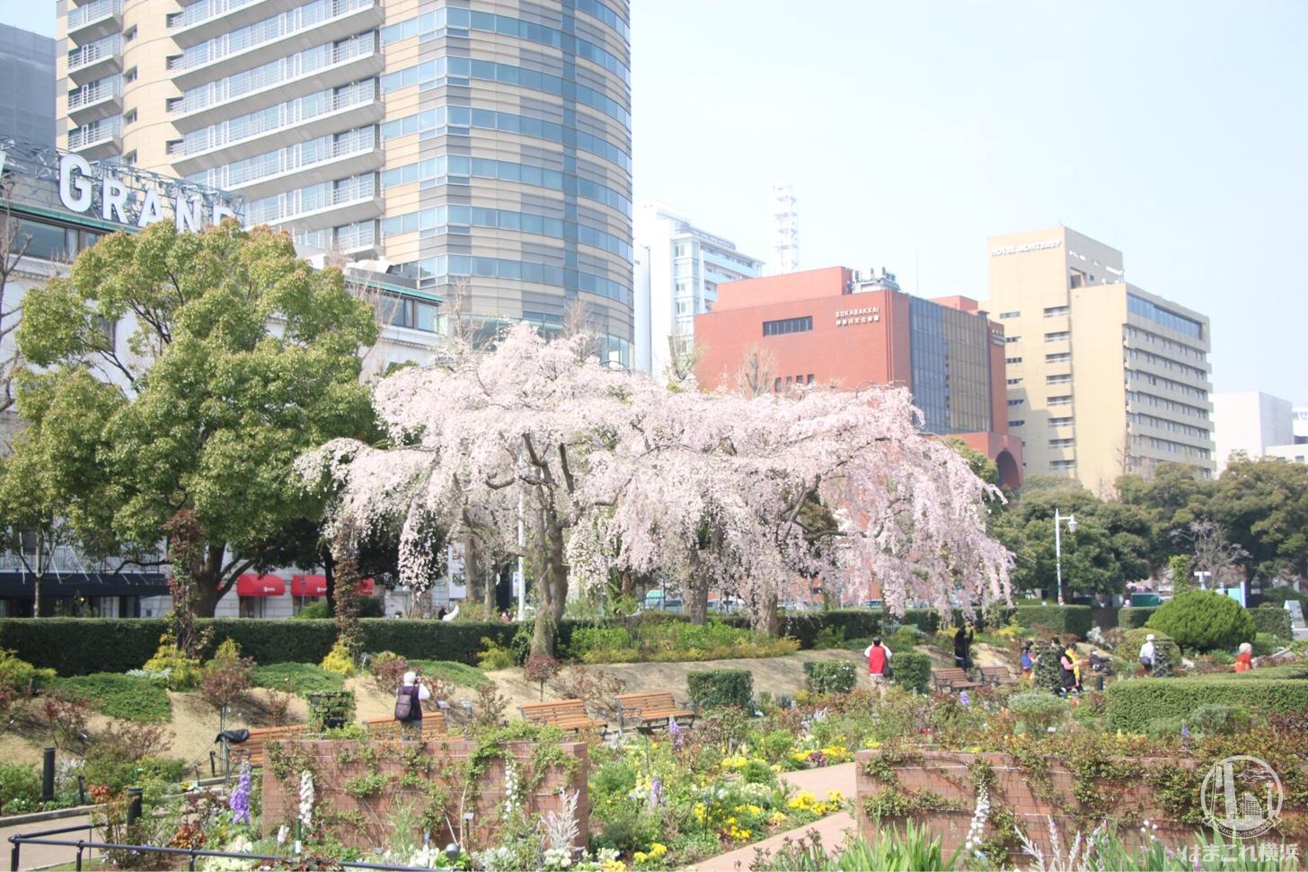 山手公園 しだれ桜
