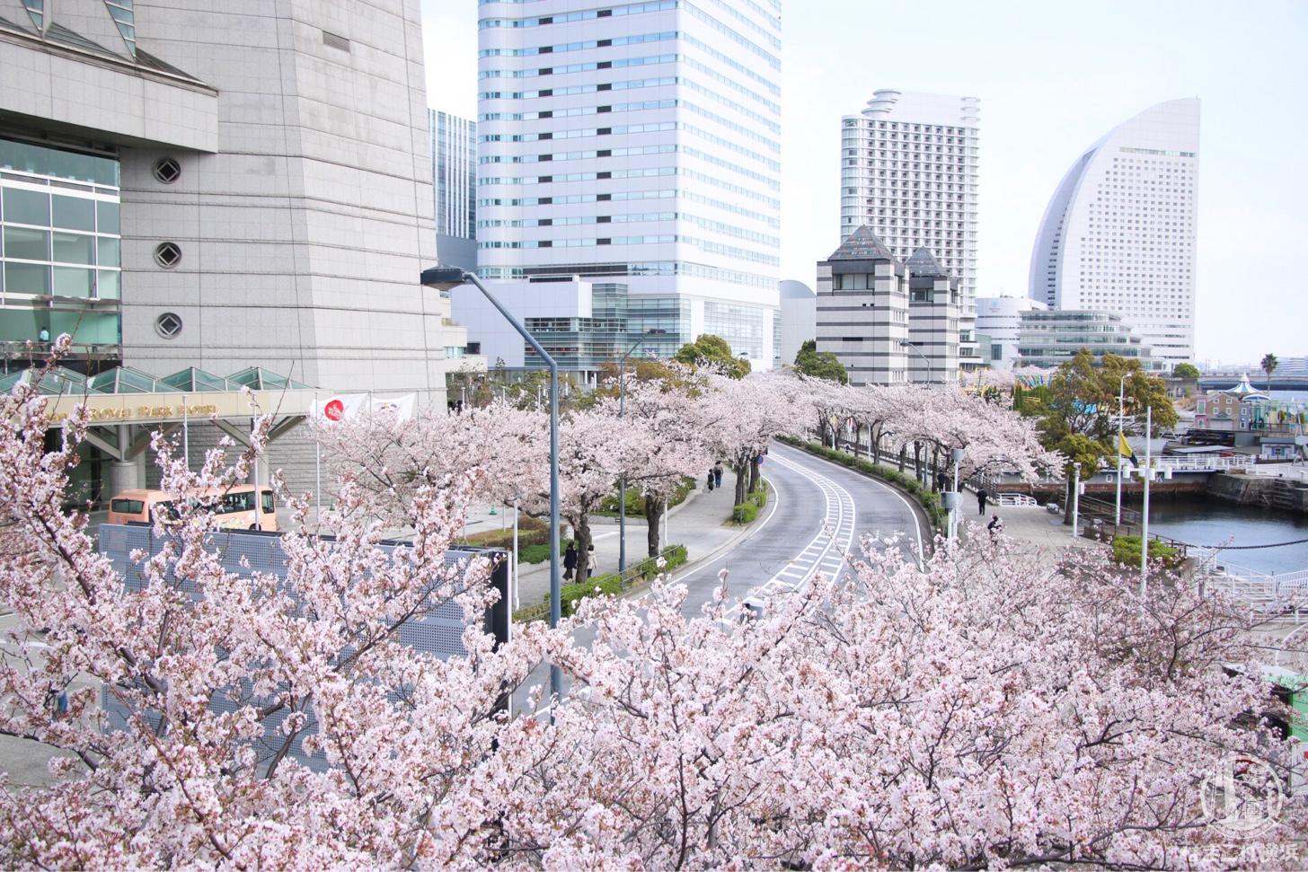 さくら通り・みなとみらい桜スポット