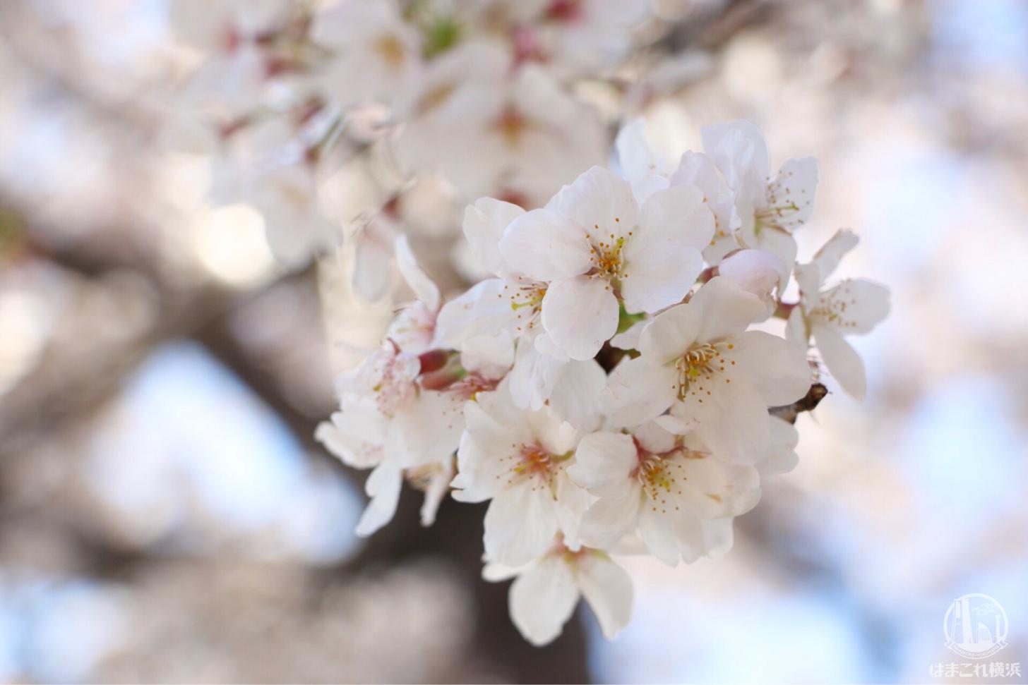 横浜の桜スポット