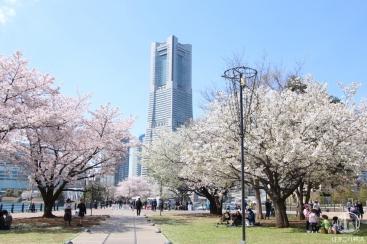 横浜みなとみらい 桜スポットまとめ!桜をめぐるフォト散歩