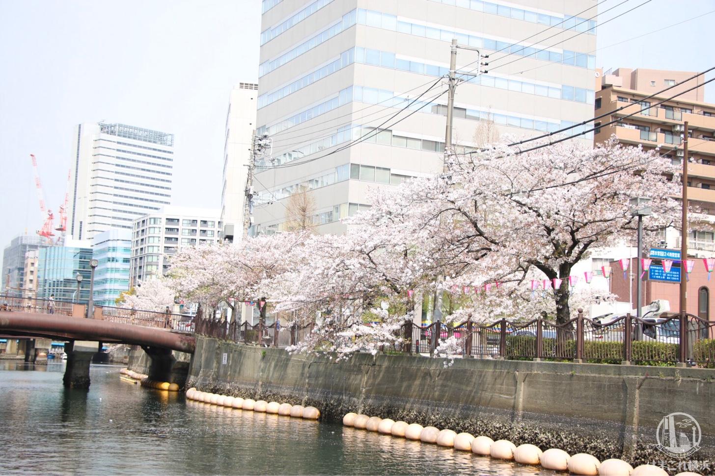 大岡川桜クルーズから見た桜