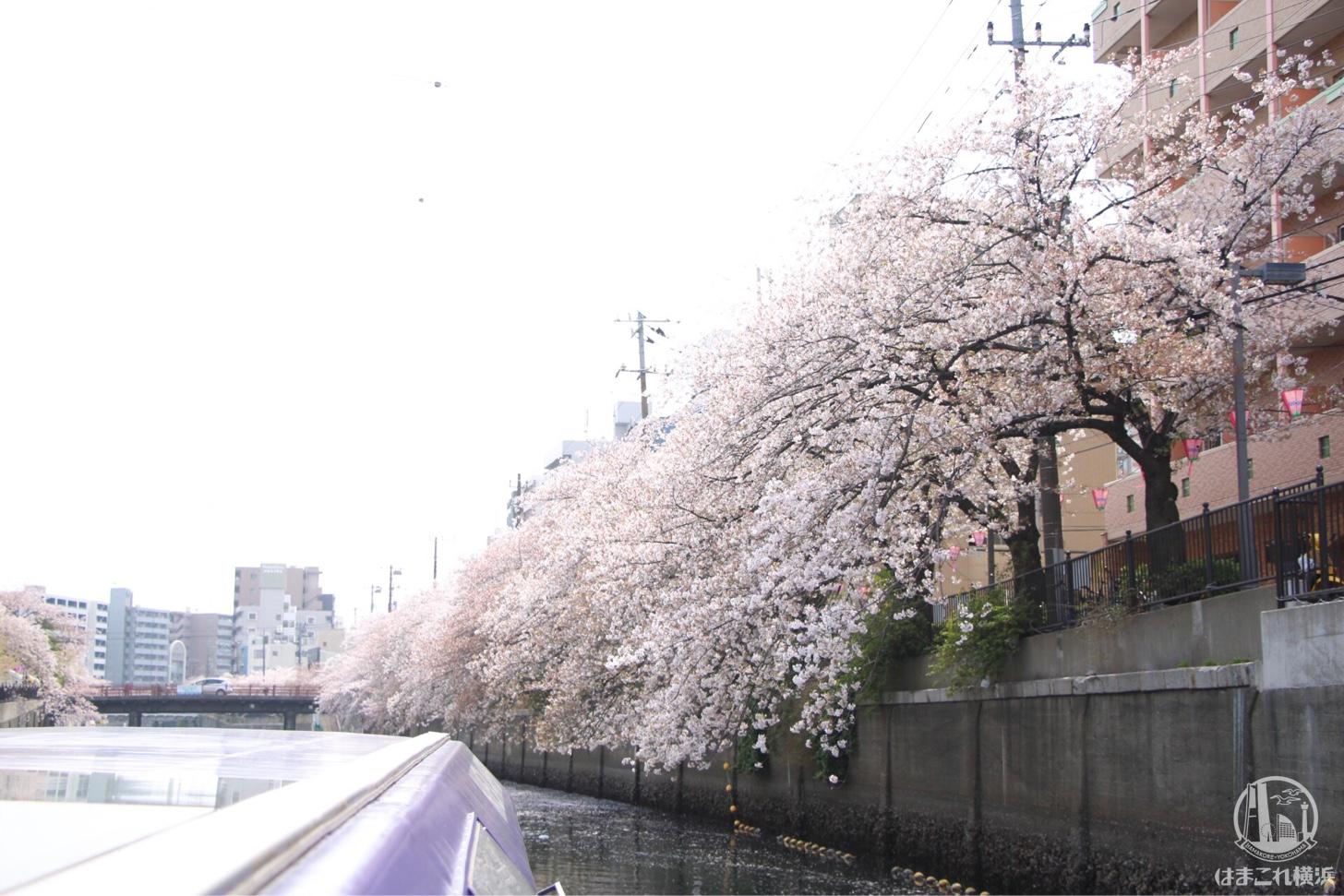 橋をくぐった先に待つ満開の桜