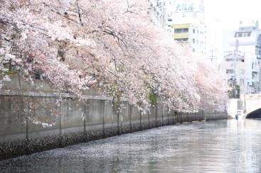 ホテル専用客船「ル・グラン・ブルー」で大岡川桜クルーズ体験!横浜景観も満喫の花見コース