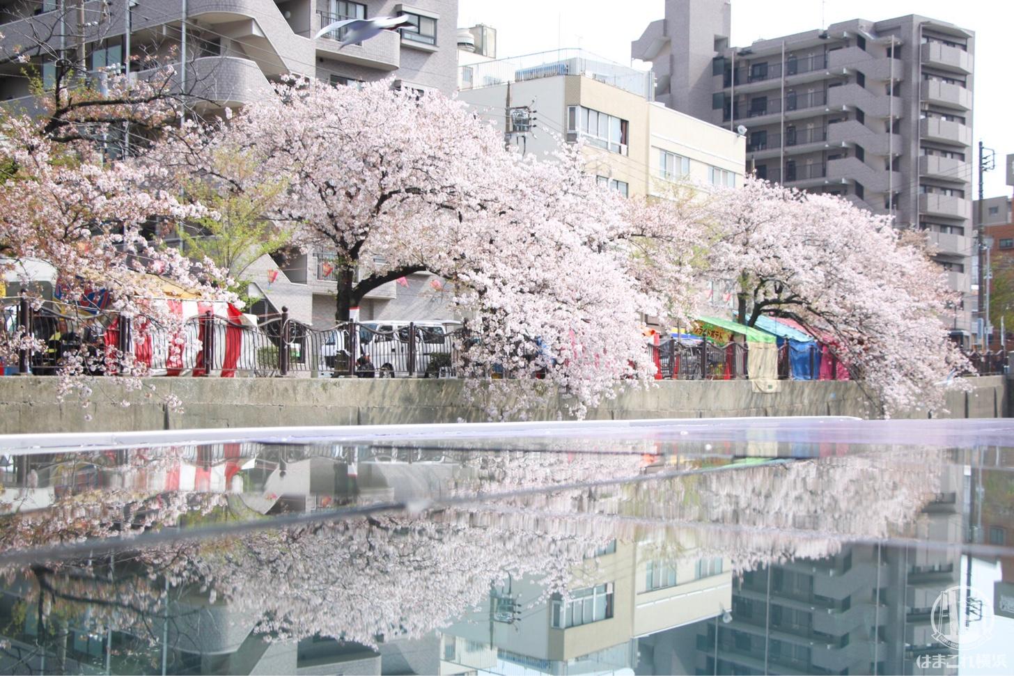 船の屋根の反射した桜