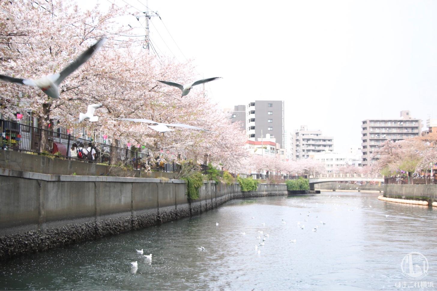 飛びまわるカモメと桜