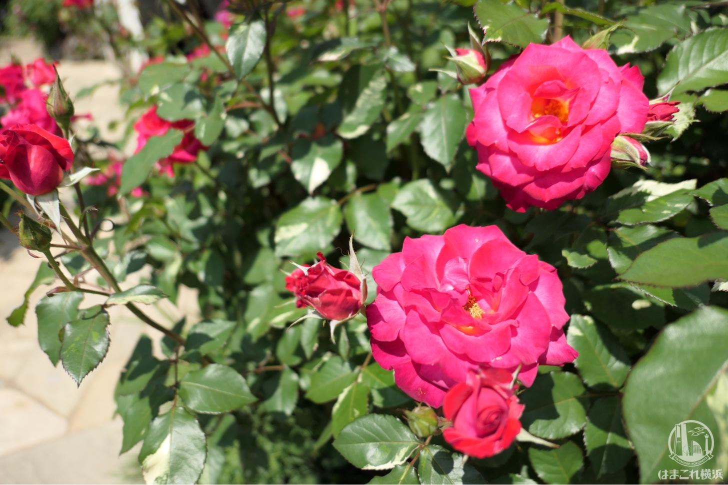 横浜イングリッシュガーデン ピンクのバラ