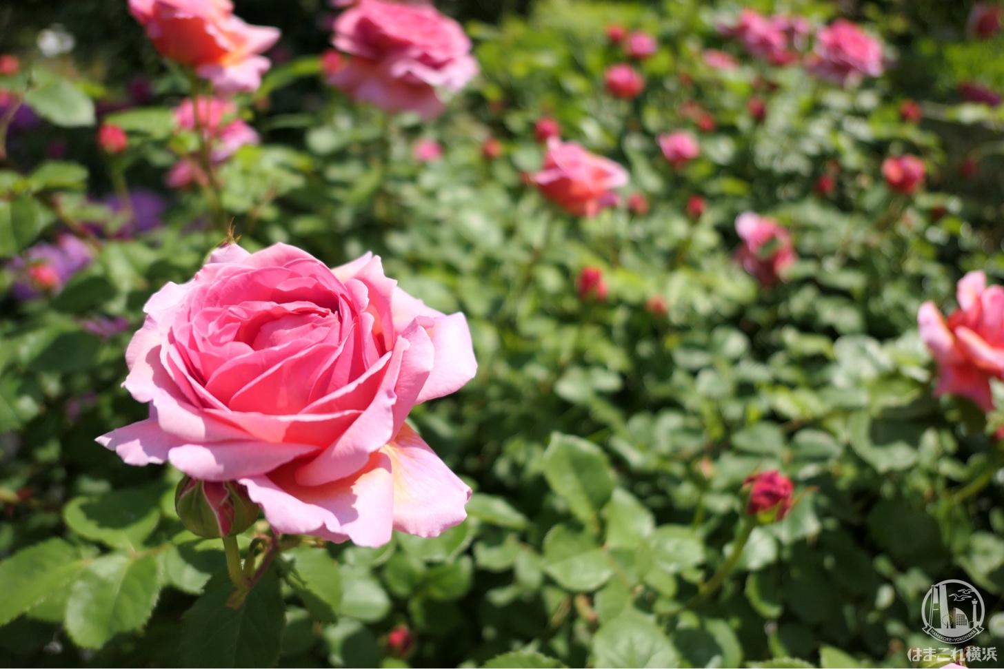 横浜イングリッシュガーデン 白とピンクのバラ