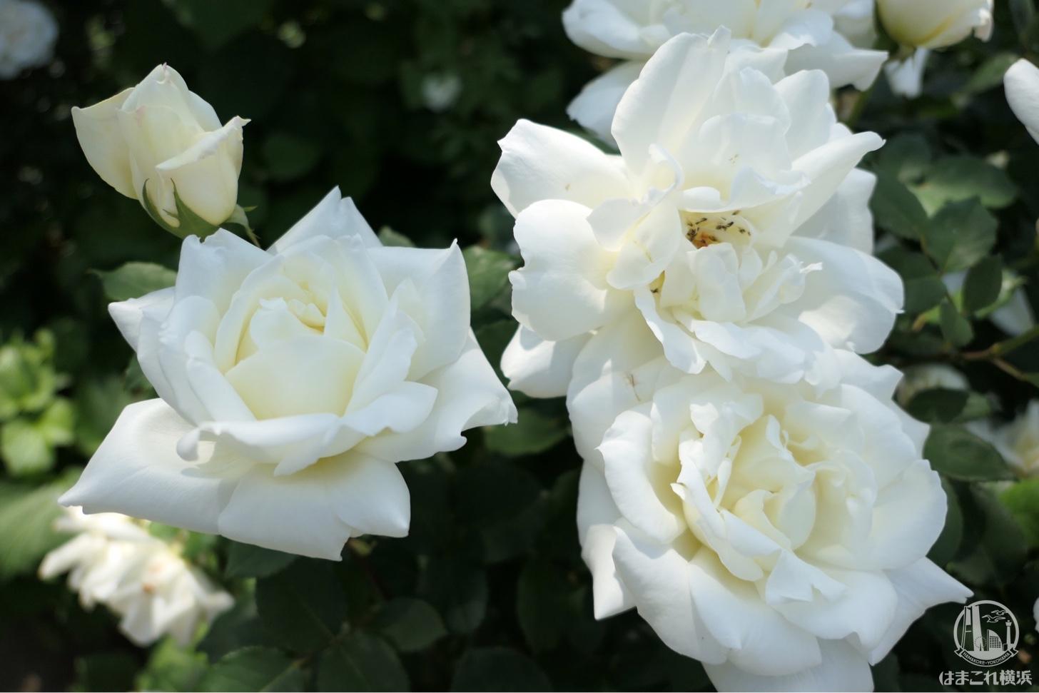 横浜イングリッシュガーデン ホワイトバラ