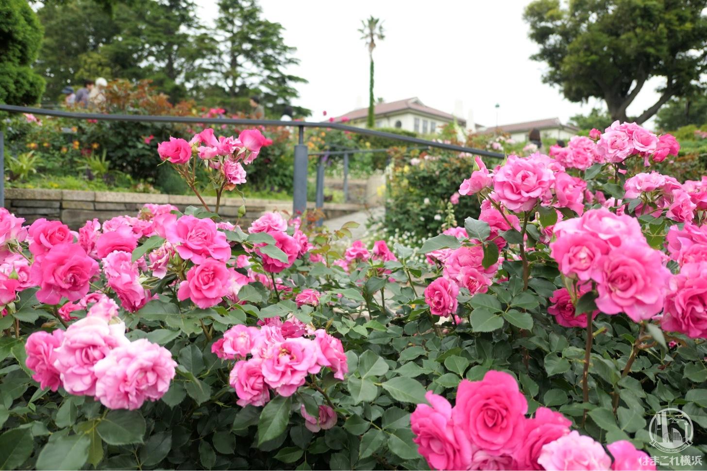 バラとカスケードの庭