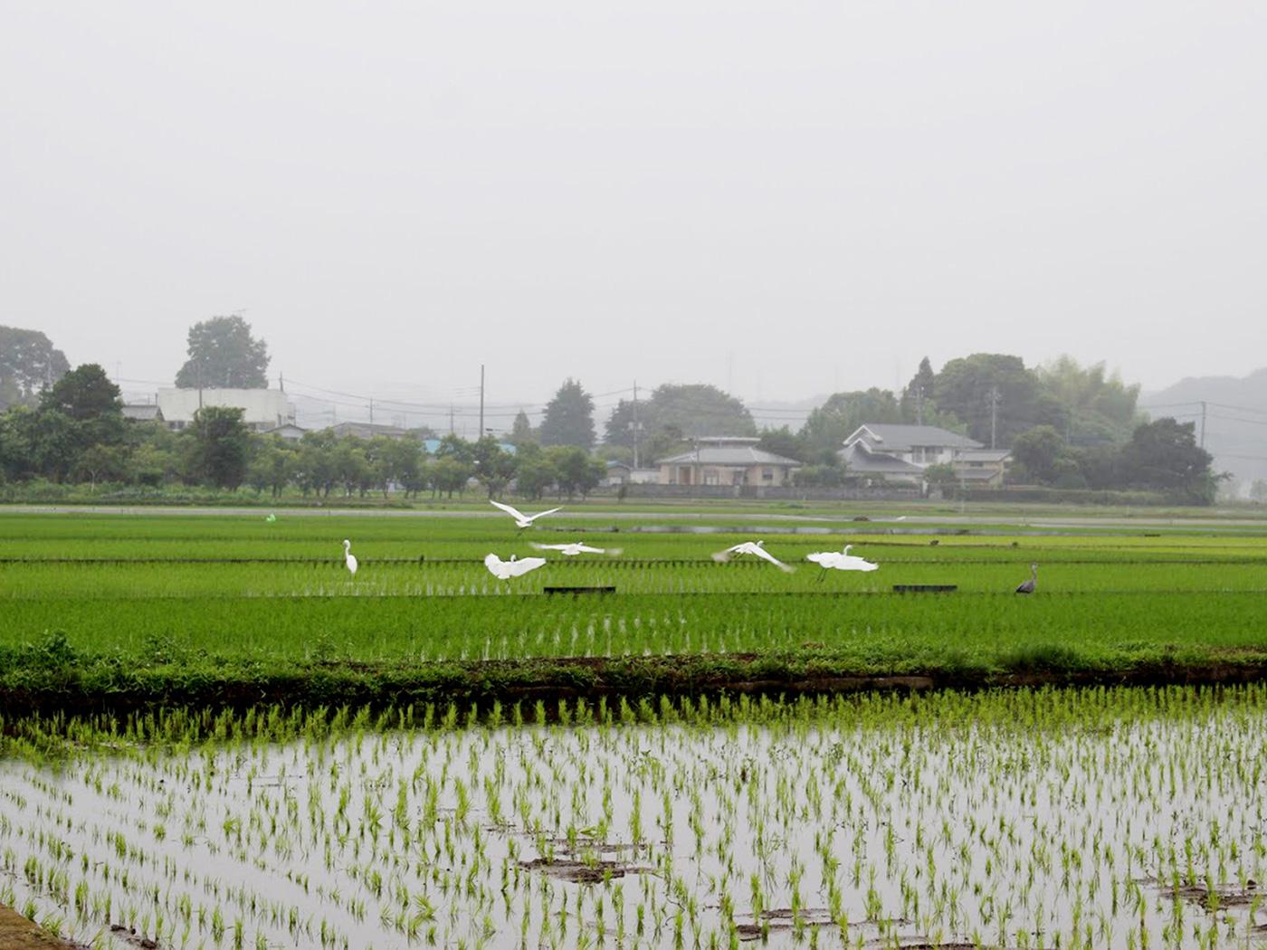 6月上旬の田の様子