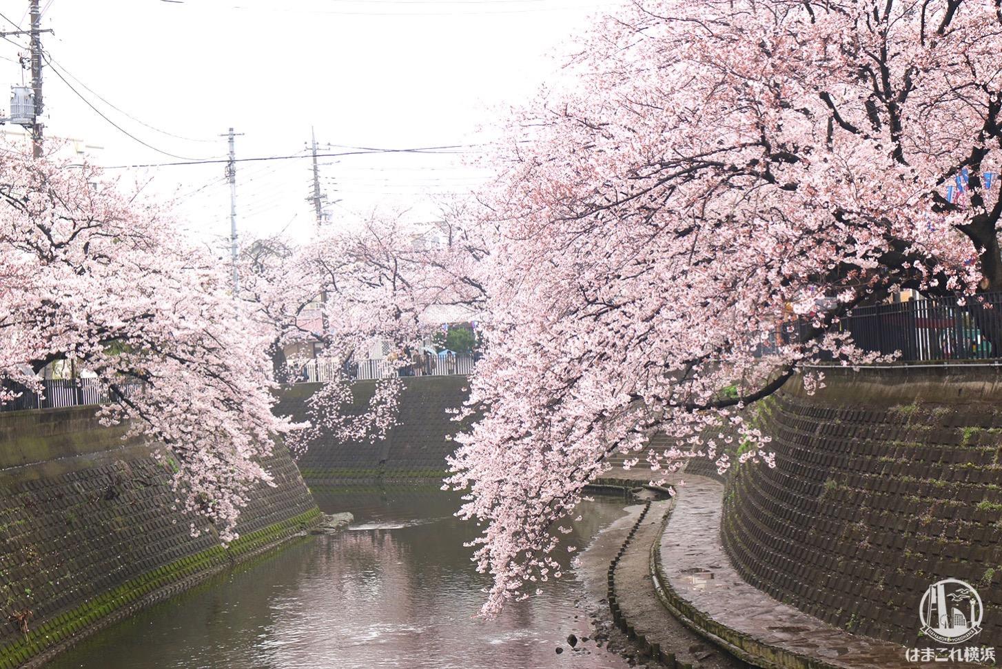 神奈川・大岡川の桜は絶対に見るべき!桜並木3.5キロのおすすめお花見スポット width=